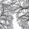 Trees on Parish Lane, Pease Pottage, covered with snow