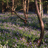 bluebells along Grouse Road