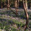 bluebells along Grouse Road