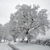Snow-covered trees, Parish Lane, Pease Pottage
